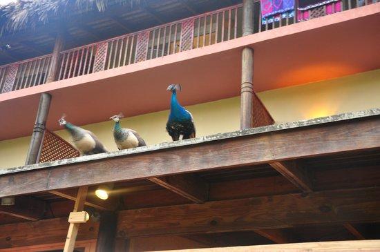 Sirenis Punta Cana Resort Casino & Aquagames : Paons