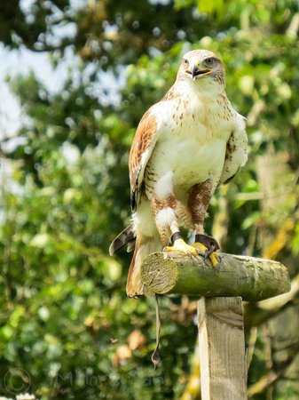 York Bird of Prey Centre: Flying display