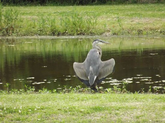Jungle Gardens: Heron by pond