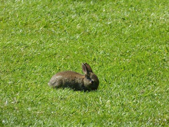 Speke Hall: Rabbit in the Garden !!