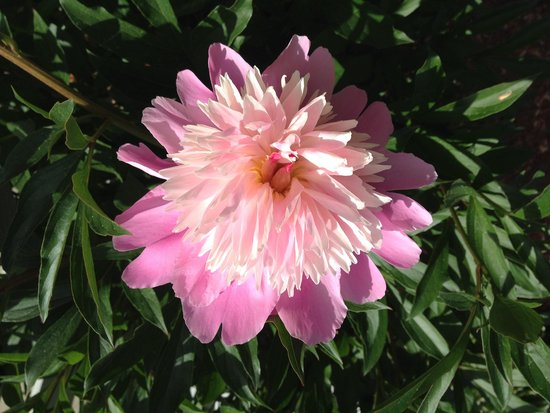Pink Blossoms Resort (Family Suites): One of hundreds of peonies in the gsrdens