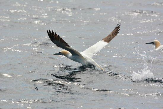 Cork Whale Watch: Northern Gannet