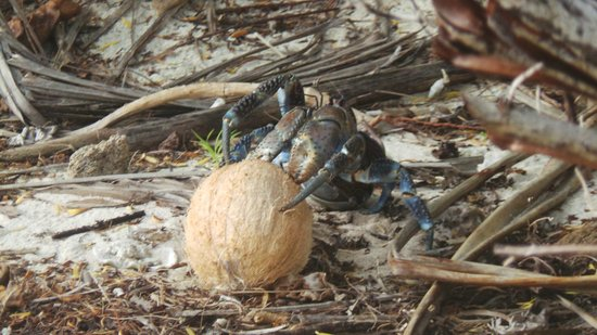 Tikehau Ninamu Resort: Coconut crab