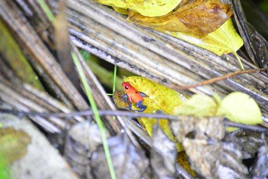 Nayara Springs: Blue Jean Dart Frog