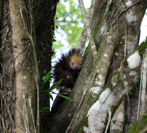 Nayara Springs: Porcupine