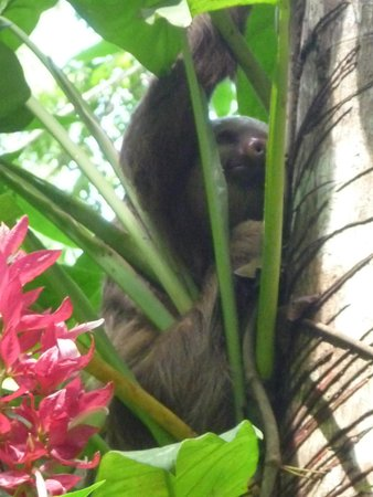 Congo Bongo Ecolodges Costa Rica : sloth hanging out behind our cabin