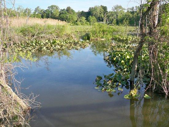 Beaver Marsh: Marsh