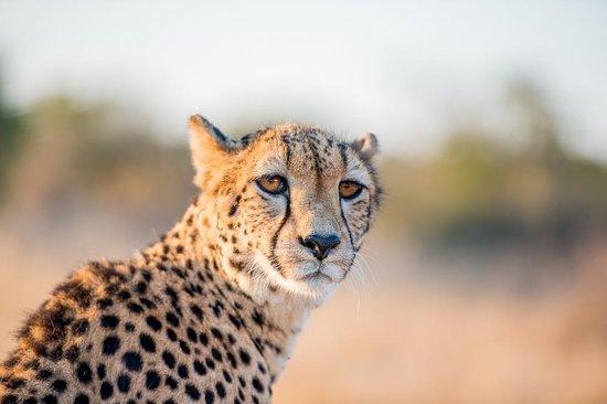 Tshukudu Bush Camp: Cheetah