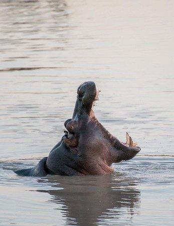 Tshukudu Bush Camp: Hippos