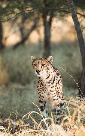 Tshukudu Bush Camp: King Cheetah