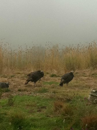 Ventana Inn & Spa: Wild turkey right outside the room. Sometimes fog comes in early but usually quickly burns off.