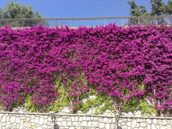 Hotel Mega Mare: Vines in bloom