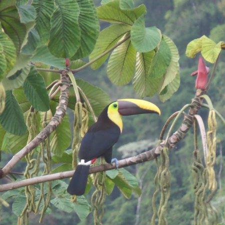 Rio Magnolia Nature Lodge: toucan