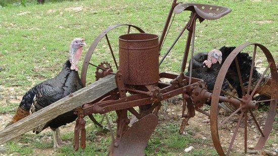 Lyndon B. Johnson State Park & Historic Site: Turkeys on living farm