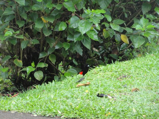 Hotel Campo Verde : Tanager seen at breakfast