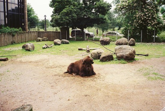 The Buffalo Zoo: Lonely bison laying around