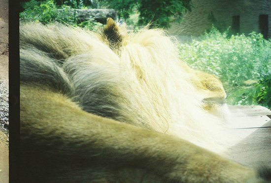 The Buffalo Zoo: Lion sleeping