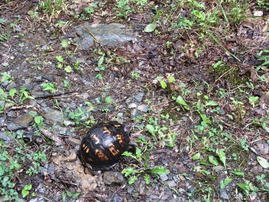 Pioneer Cabins & Guest Farm: Box turtle digging to lay eggs