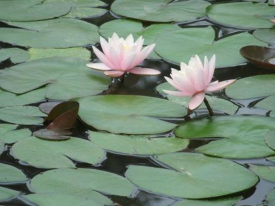 SunnyFlower Services : Flowering Lotus