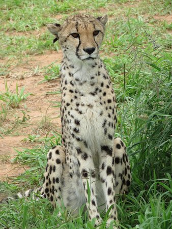 Cheetah Conservation Fund: Cheetah