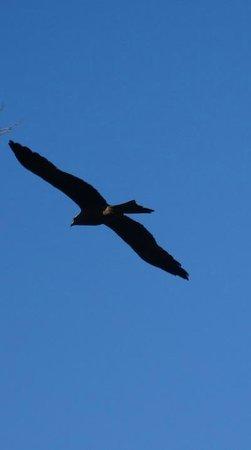 Eungella Mountain Edge Escape: Black Kite