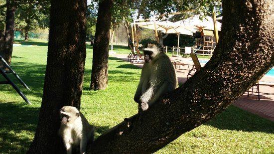 Peermont Walmont at The Grand Palm : Monkeys roam freely at the pool and playground