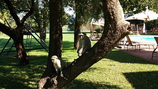 Peermont Walmont at The Grand Palm: Monkeys roam freely at the pool and playground