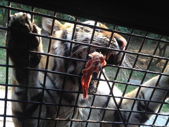 Shenzhen Wild-life Zoo: 虎