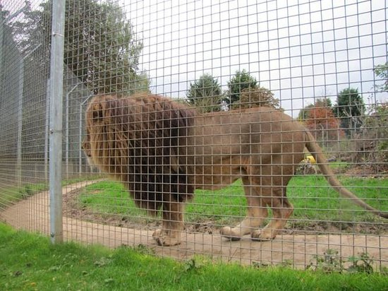 Woburn Safari Park: Trying to get a glance of 'THE' lion - all caged up - hint: look at the long plank of wood when
