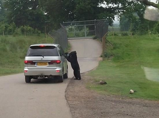 Woburn Safari Park: The bear just can't get a good enough view of the people in front!