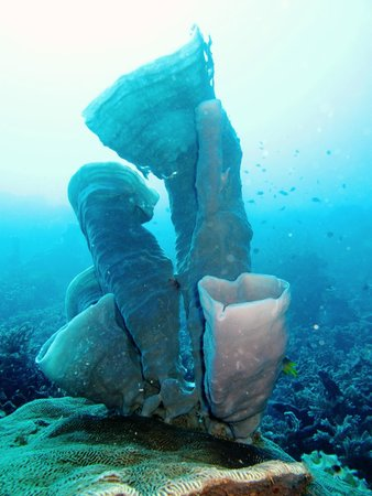 Quality Hotel Gorontalo : SPonge coral beauty of Gorantalo