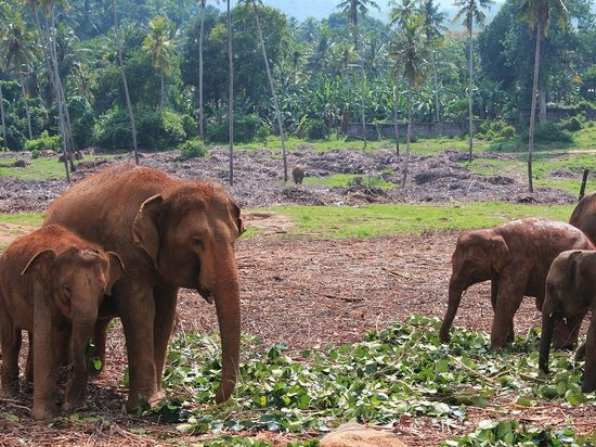 Green View Home Stay : Elephant Babies at Pinnawala