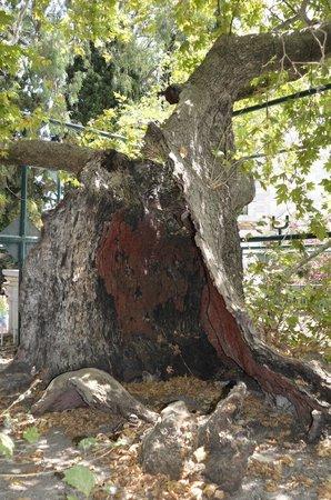 Hippocrates Tree : Hippocrates Plane (Platane) Tree