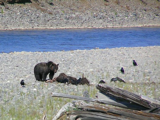 Grand Loop Road: orso bruno che mangia bisonte