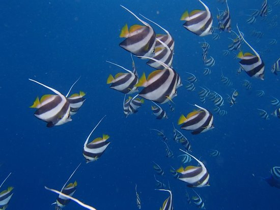 Ellaidhoo Maldives by Cinnamon : Banner Fish