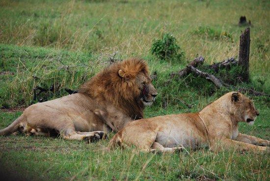 Olakira Camp, Asilia Africa : Lion pair on the Serengeti
