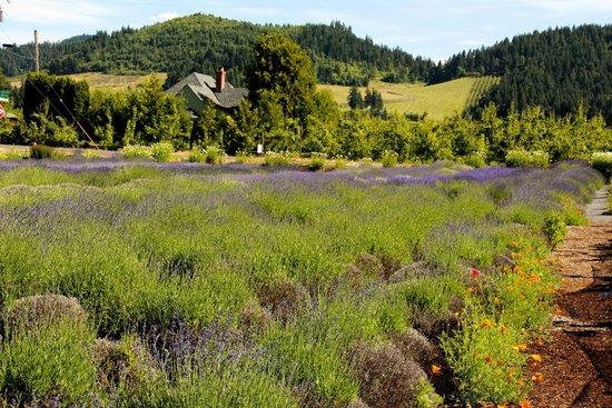 Hood River Lavender: Lavender Fields