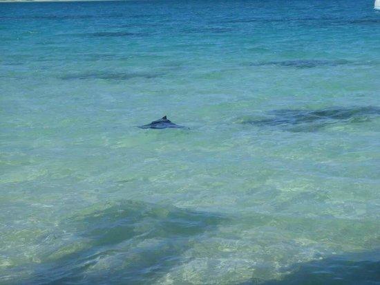 Matira Beach: Raie leopard la plage de matira