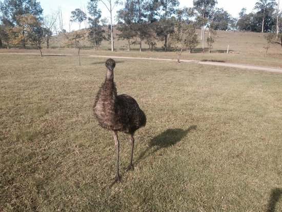 Cedars Mount View: A morning visit from the Emu!