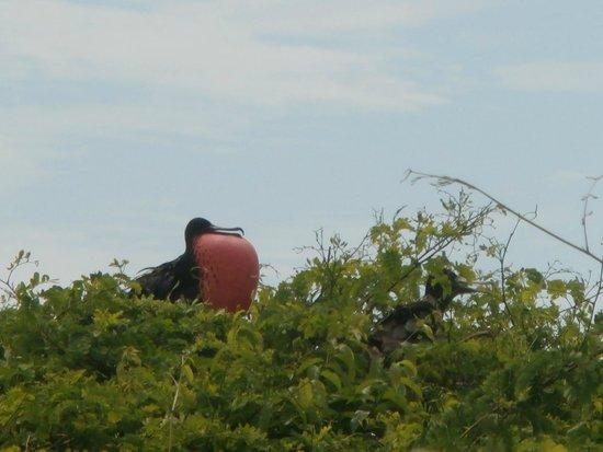 Isla Iguana: uccello