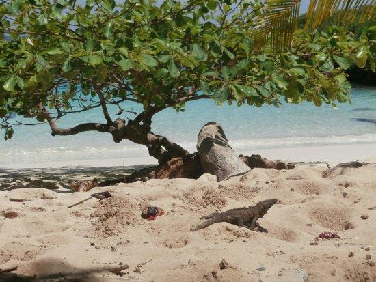 Isla Iguana: iguana