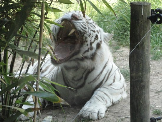 tigre blanc photo de zoo de la fl che la fl che tripadvisor. Black Bedroom Furniture Sets. Home Design Ideas