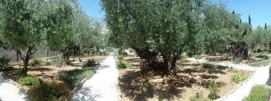 Garden of Gethsemane: Old olive treas