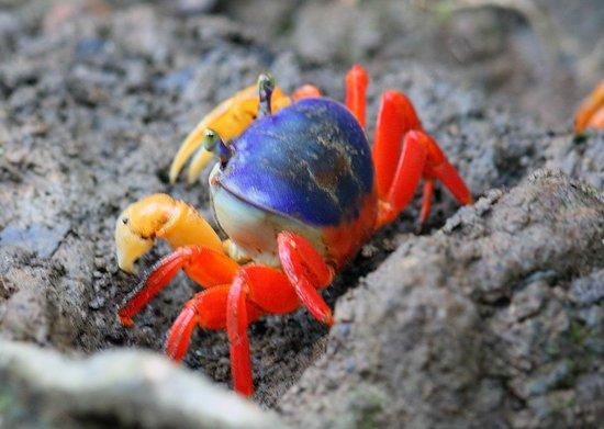 Copa de Arbol Beach and Rainforest Resort: Gorgeous crabs among mangroves