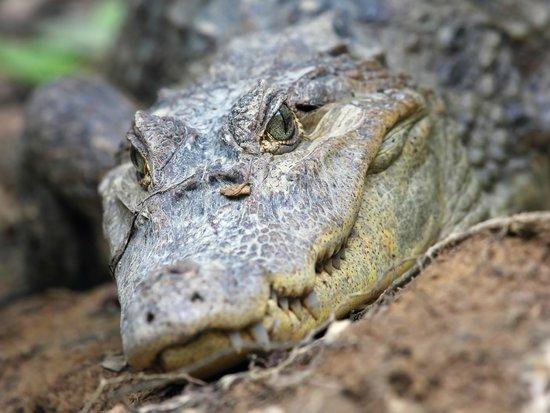 Copa de Arbol Beach and Rainforest Resort: This close to crocodiles in Corcovado