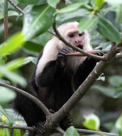 Copa de Arbol Beach and Rainforest Resort: Capuchin enjoying mangrove shoot