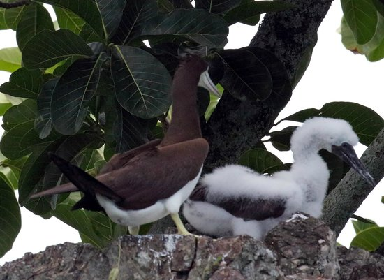 Copa de Arbol Beach and Rainforest Resort: Brown booby and young