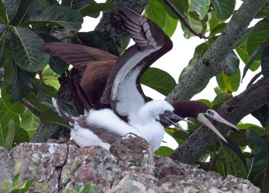 Copa de Arbol Beach and Rainforest Resort: Brown booby nesting