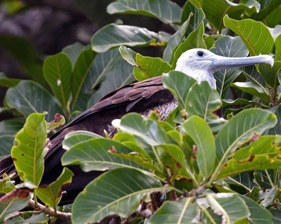 Copa de Arbol Beach and Rainforest Resort : Magnificent frigatebird