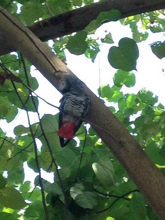 Fihalhohi Island Resort : An African Grey in the Tree